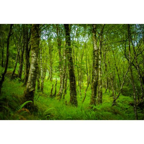 MSC006 - Schottlands Wald