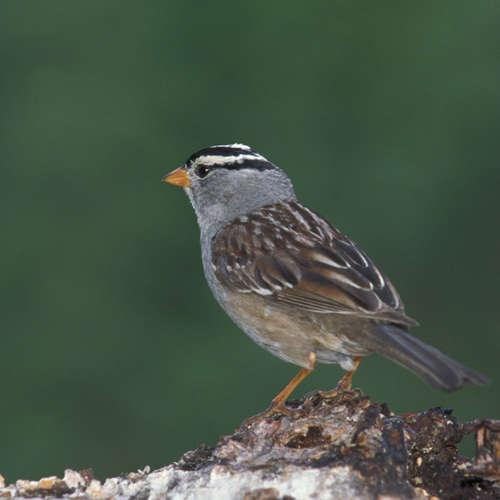 Dialekte unter Vögeln
