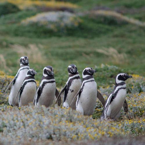 Wie weit Pinguine ihren Kot verschießen