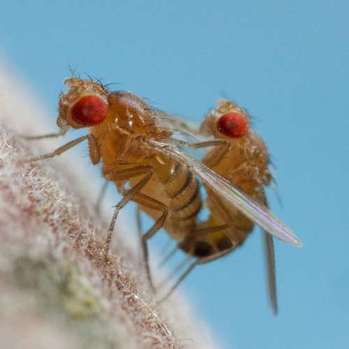 Über Fruchtfliegen und Vibrationsschlaf