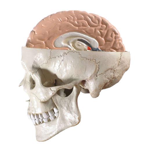 Reaktionen des Gehirns auf Fakten