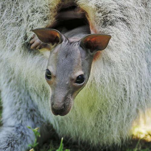 Lachlabor: Kacken Känguru-Babys in den Beutel?