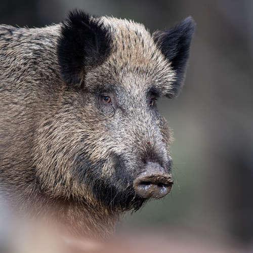Ein Wildschwein im Kaufhaus