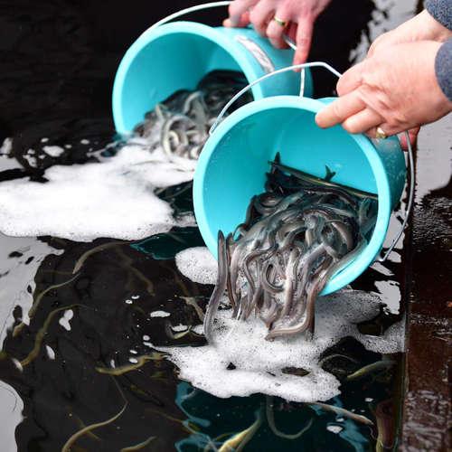 Fish & Science: Aale – vom Aussterben bedroht