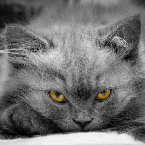 Fühlen Katzen sich immer wohl, wenn sie schnurren?