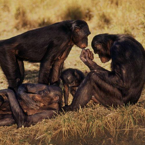Bonobos   Der Affe in uns: Sind Bonobos die vorbildhaften Hippies?